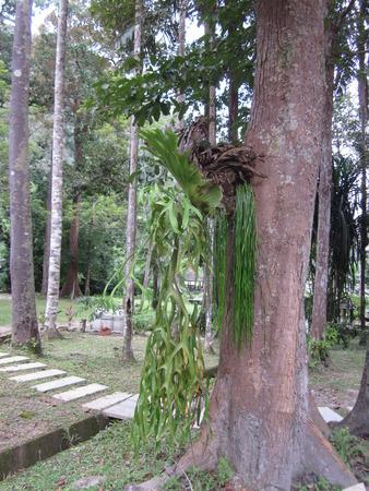 platycerium: Platycerium superbum or Staghorn fern. Stock Photo