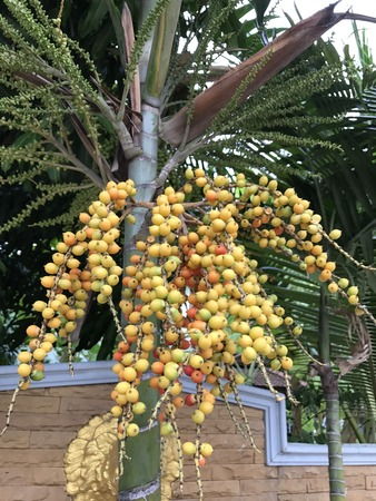Areca catechu or Areca palm or Indian nut or Pinang palm or Betel nuts or Betel palm tree.