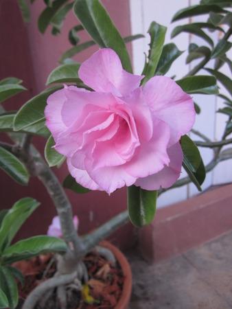 Adenium obesum or Impala lily or Mock azalea or Desert rose or Sabi star flower.
