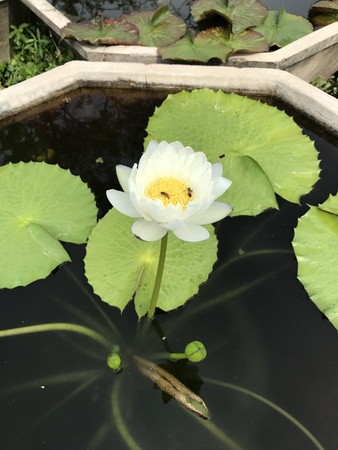 Nymphaea gigantea lotus. Editorial