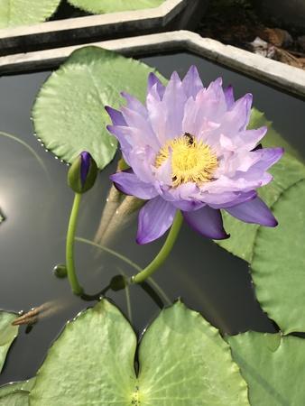 gigantea: Nymphaea gigantea lotus. Stock Photo