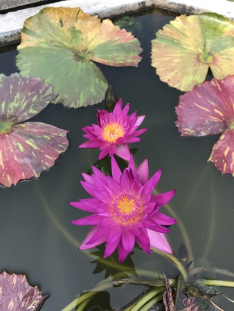 mauve: Nymphaea nouchali or Nyuphaea stellata or Nymphaea cyanea or Star lotus or Star Water lily.