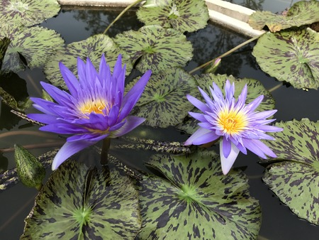 Nymphaea nouchali or Nyuphaea stellata or Nymphaea cyanea or Star lotus or Star Water lily.