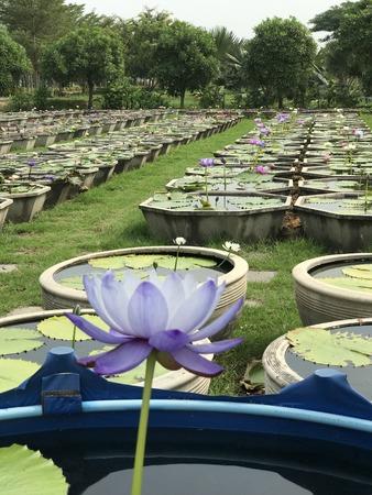Nymphaea gigantea lotus. Stock Photo