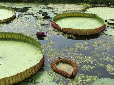 Leaves of Victoria amazonica or Victoria water lily.