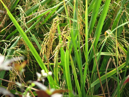 Spike or rice grains.