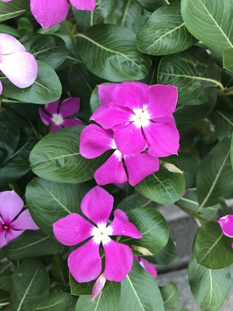 subtropical plants: Catharanthus roseus or Madagascar periwinkle or Rosy periwinkle or Teresita flower.