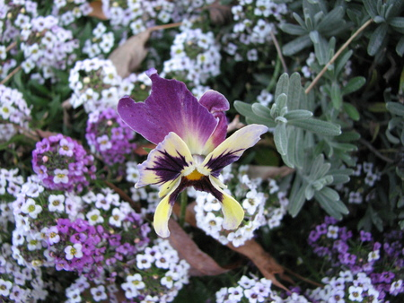 Pansy or Viola tricolor or Stepmother or Flammola  flower.