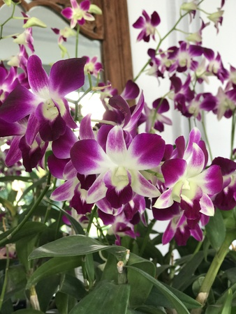 Purple Dendrobium orchid flowers. Stock Photo