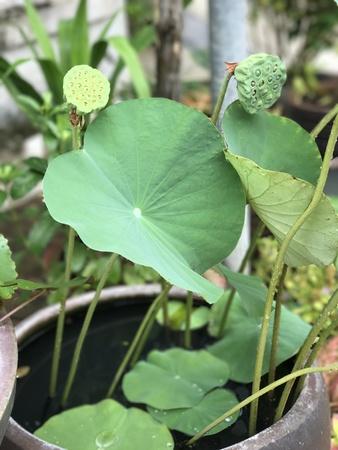 Nelumbo nucifera or Indian lotus or Sacred lotus or Lotus.