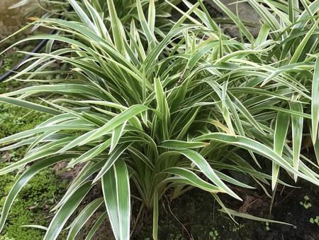 tuberous: Chlorophytum comosum or Spider plant or Airplane plant or Spider ivy or Ribbon plant.