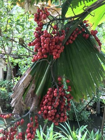 Fruits of Licuala grandis or Vanuatu fan palm or Ruffled fan palm or Palas palm. 版權商用圖片 - 83925141