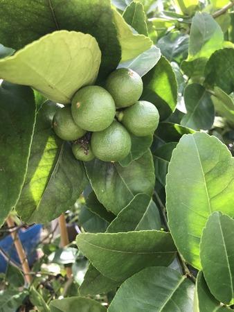 vesicles: Lime tree produce the fruit.