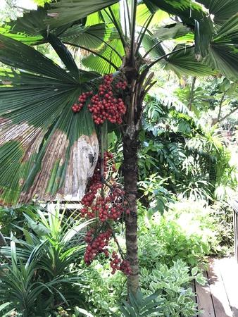 Fruits of Licuala grandis or Vanuatu fan palm or Ruffled fan palm or Palas palm. 版權商用圖片