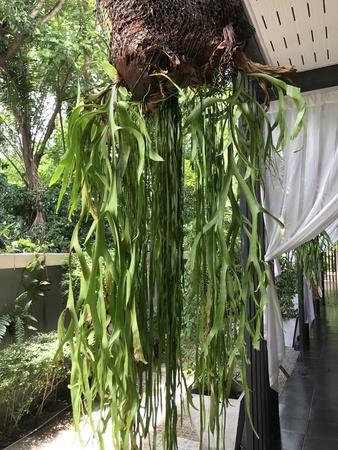 staghorn fern: Platycerium superbum or Staghorn fern. Stock Photo