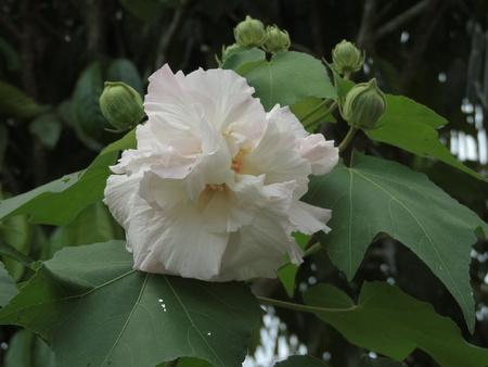 Hibiscus mutabilis or Confederate rose or Dixie rosemallow or Cotton rosemallow flower.