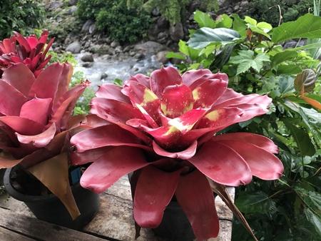Neoregelia plant on the balcony.