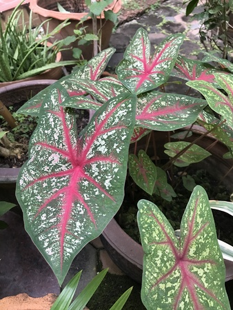 Caladium or Elephant ear or Heart of Jesus or Angel wings. Stock Photo