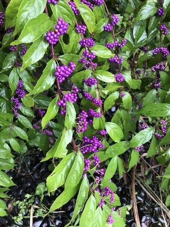 Callicarpa japonica or Japanese beautyberry or East asian beautyberry . Stock Photo