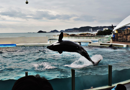 Show of Orca or Killer whale.