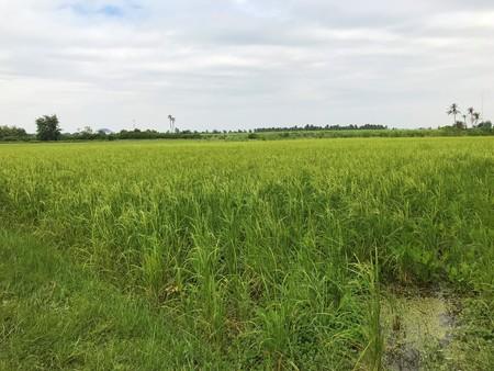 Organic Hom Nakorn Chaisri Rice field in Thailand. Stock Photo