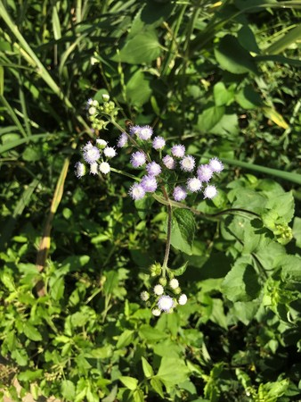 Ageratum conyzoides or Billygoat weed or Chick weed or Goatweed or Whiteweed flower.