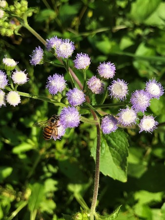 Honey bee is sucking nectar of Ageratum conyzoides or Billygoat weed or Chick weed or Goatweed or Whiteweed flower. Stock Photo