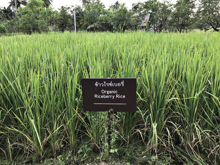 Organic Riceberry Rice field in Thailand. (Thai language depicted in the photo has signify same as english language.) Stock Photo