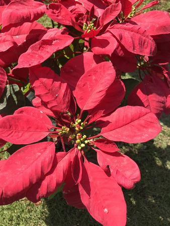 Poinsettia or Euphorbia pulcherrima or Flame leaf flower plant. Stock Photo