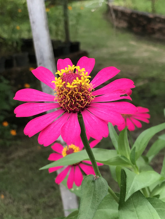 Zinnia elegans or Youth-and-age or Common zinnia or Elegant zinnia flower. Stock Photo