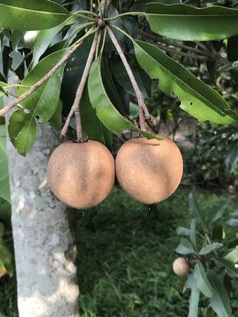 Manilkara zapota or Sapodilla tree produce the fruit. Stock Photo