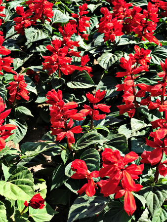 Salvia splendens or Scarlet sage or Tropical sage flowers.
