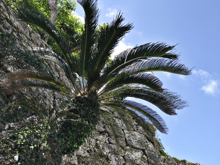 Cycas revoluta or Sago palm or King sago or Sago cycad or Japanese sago palm at Nakagusuku-jo Site in Okinawa, Japan. Stok Fotoğraf