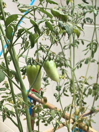 Tomato plant produce the fruits.