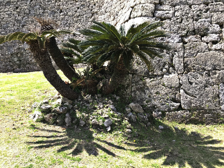 Cycas revoluta or Sago palm or King sago or Sago cycad or Japanese sago palm at Nakagusuku-jo Site in Okinawa, Japan. Stock Photo