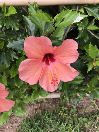 Hibiscus or Rose mallow flower. Stock Photo