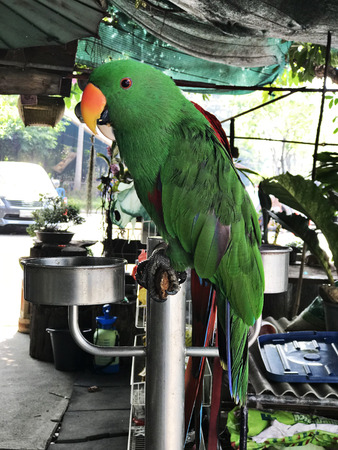A cute Psittacines or Parrot bird. Stock Photo