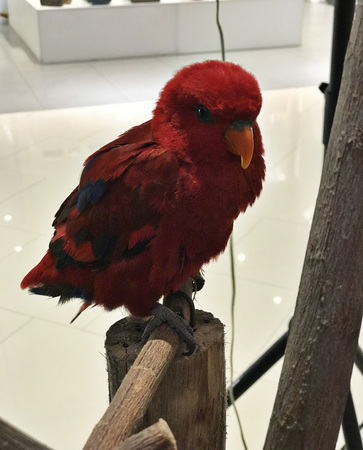 A colorful lory parrot.