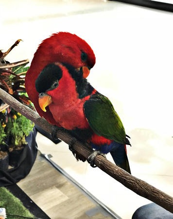 A couple of colorful lory parrots. Stock Photo