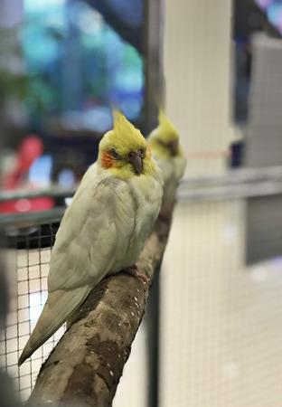 Hand reared cockatiels parrot birds. Stock Photo