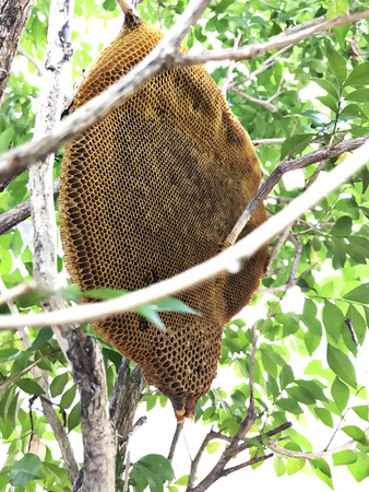 Honeycomb remaining after the natural exodus of honey bees.