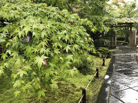 Maple in beautiful garden of Entsuin Temple in Matsushima, Miyagi Prefecture of Japan.