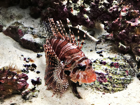 Dendrochirus zebra or Zebra turkeyfish or Zebra lionfish or Dwarf lionfish in the Okinawa Churaumi Aquarium, Japan.