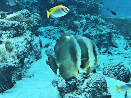 Orbicular batfish or Platax orbicularis or Circular batfish or Round batfish or Orbic batfish in the Okinawa Churaumi Aquarium, Japan. 版權商用圖片 - 111241140