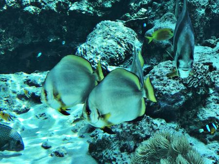 Orbicular batfish or Platax orbicularis or Circular batfish or Round batfish or Orbic batfish in the Okinawa Churaumi Aquarium, Japan. 版權商用圖片 - 111241141