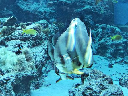 Orbicular batfish or Platax orbicularis or Circular batfish or Round batfish or Orbic batfish in the Okinawa Churaumi Aquarium, Japan. 版權商用圖片 - 111241166