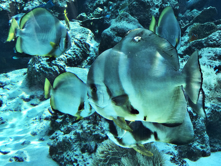 Orbicular batfish or Platax orbicularis or Circular batfish or Round batfish or Orbic batfish in the Okinawa Churaumi Aquarium, Japan. 版權商用圖片