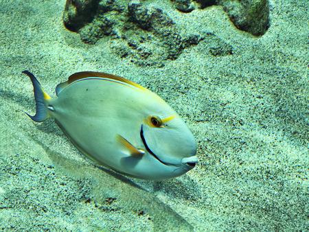 Acanthurus dussumieri or Dussumiers surgeonfish or Eyestripe surgeonfish in the Okinawa Churaumi Aquarium, Japan.