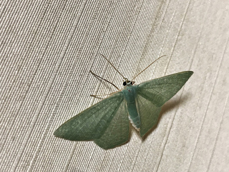 Pelagodes antiquadraria, an Emerald moth in Okinawa Island of Japan.