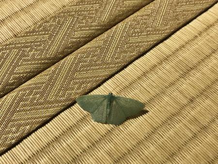 Pelagodes antiquadraria, an Emerald moth in Okinawa Island of Japan. Reklamní fotografie